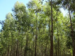 Eukalyptus wächst in Paraguay sehr schnell